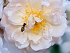 Hover fly hovering over double, pale pink rose, Phippsburg, Maine garden summer