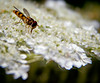 Hover Fly On Queen Anne's Lace Maine, insect