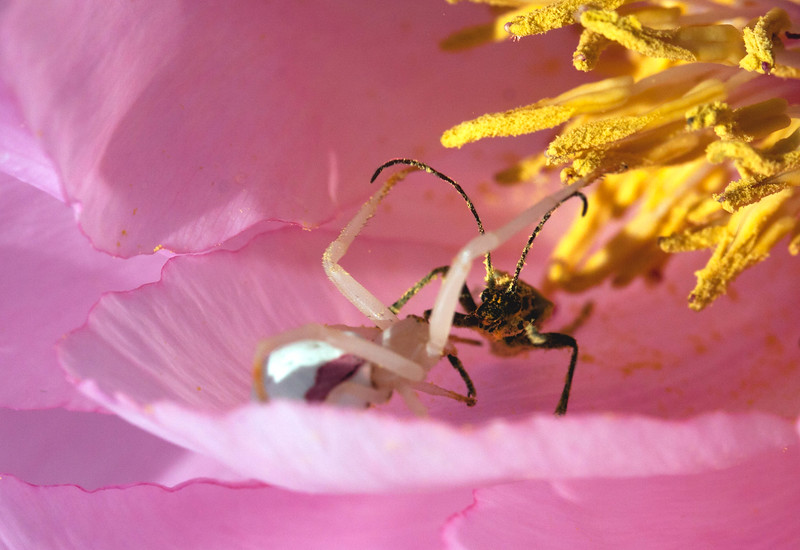 White Crab spider on pink Tree Peony blossom. This little spider sits and waits for prey which it ambushes. Here it has tackled a Horn beetle. They are flayling around in pollen.