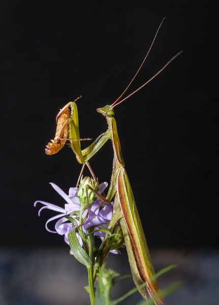 "Praying Mantis, the eggcorn is Preying Mantis. There are thousands of spieces of this insect, which is in the family with cockroaches. Here it is eating a caterpillar. This predatory insect (thus, the eggcorn ""Preying"") will eat frogs and sometimes hummingbirds."