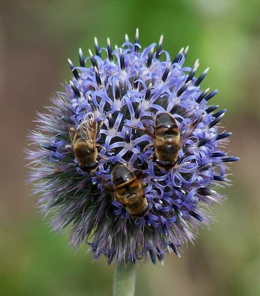 Hover Fly Trilogy On Echinops Maine, insect