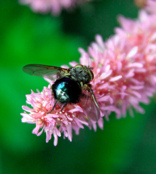 Fly On Pink Astilbe Maine, insect