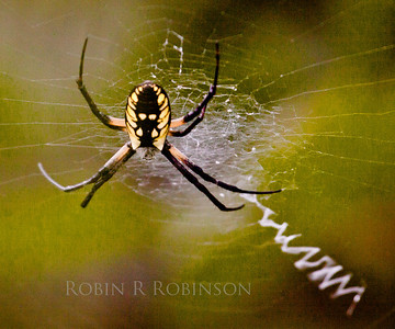 Golden Orb Weaver spider, my garden, coastal Phippsburg, Maine