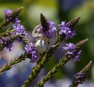 Crab spider on Verbena hastata, Blue Vervain or Swamp Verbena, also called Wild Hyssop and Simpler's Joy is a native, Maine wildflower, mid July, Phippsburg, Maine