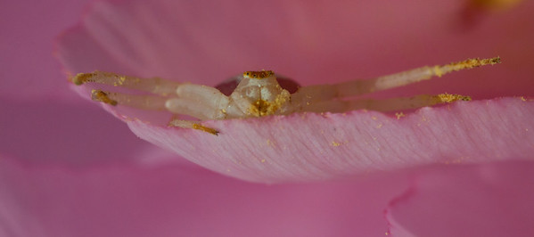Flower Crab spider waiting to ambush prey in Tree peony petal, frontal view, Phippsburg, Maine. Canon 60mm macro lens.