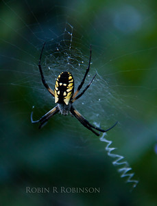 Golden Orb Spider Phippsburg Maine