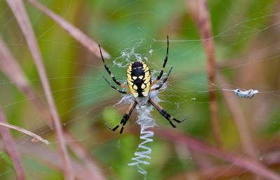 Golden Orb weaver spider with classic zig zagging web pattern in a summer meadow, Phippsburg, Maine