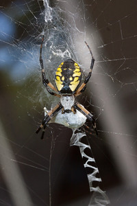Golden Orb Weaver spider with mummified food sac on web, Phippsburg Maine, early September