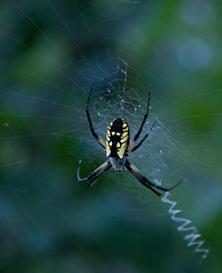 Golden Orb Weaver spider on web, summer, Phippsburg, Maine