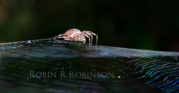 Cross Spider on web