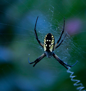 Golden Orb weaver spider with classic, zig-zag web pattern, September, Phippsburg, Maine