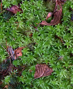Club moss with dried leaves, Acadia National Park, September. Club moss is very common in Maine woodlands where conditions are consistently damp. It prefers shade.