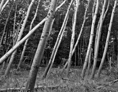 "Quaking aspen trunks at Acadia National Park, Mount Desert Island, Maine in September, study in black and white. These are Populus tremuloides, or ""Quaking Aspens"" just like the aspens that make Aspen, Colorado so gold and lovely in September. Though they look like individual trees, they are actually a colony which grows from a connected root system. Some aspen colonies are regarded as the larges living thing on earth!"