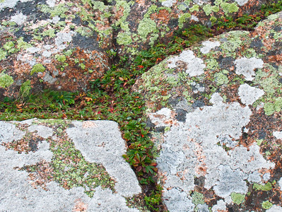 Dwarf Cinquefoil growing along the crack lines of pink granite encrusted with green lichen, Cadillac Mountain, Acadia National Park, Mount Desert Island, Maine, September