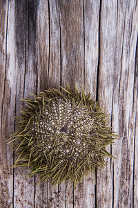 Sea urchin on driftwood, Maine