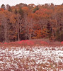 Ashdale Marsh, Phippsburg, Maine in fall. a late autumn snow storm left snow on the red Winterberry, ilex verticilata shrub and burnished golden oak leaves in the background. This is important bird and small mammal habitat.