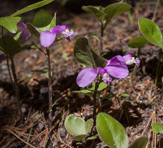 Polygala paucifolia, known as Gaywings or Fringed polygala is also called Milkwort, Snakeroot. My mother always called it Birdy On the Wing. I think that might have been her own name for it or a very local nickname. This Maine wildflower is a spring ephemeral, dissappearing by the time the trees leaf out. It growns in dappled shade in lean soil. It has been used medicinally and was thought to improve the milk production of cows that at it. There are over 60 different species of Polygala in the United States. Most of the occur in the southeast. This is the one we see in Maine. Photographed in May, Phippsburg, Maine. It's tiny: only three inches tall and the flower is about 1 1/2 inch across. I had to lie on the ground for these photos taken with a macro lens. For a distribution map and more info on this wildflower, visit http://www.fs.fed.us/wildflowers/plant-of-the-week/polygala_paucifolia.shtml