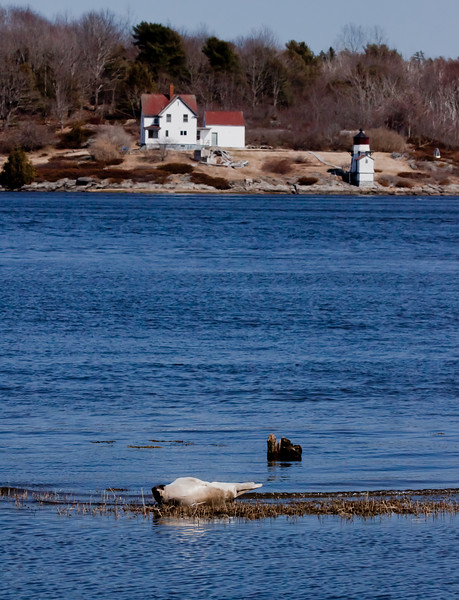 Harp Seal And Squirrel Point Lighthouse