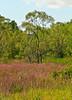 field of Purple Loosestrife, Lythrum salicaria,  in Bath, Maine