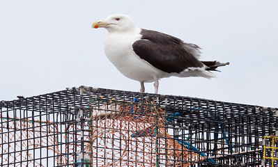 Great Black Backed Gull close up, standing on lobster trap, an iconic Maine photograph, Phippsburg, summer
