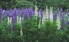 Wild lupines, Phippsburg Maine
