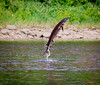 Sturgeon leaping from Kennebec River, Maine