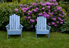 Blue Adirondack chairs in my coastal, Maine Phippsburg garden, rhododendrons in the background