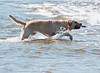 Retriever retrieving Yellow lab with stick in ocean