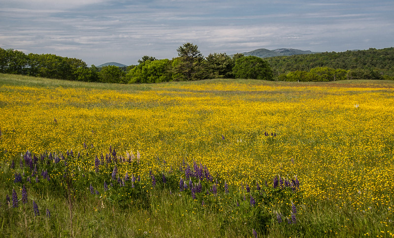 View of the Camden Hills from Route One in Warren, Maine, golden buttercups and purple and pink lupines, early June