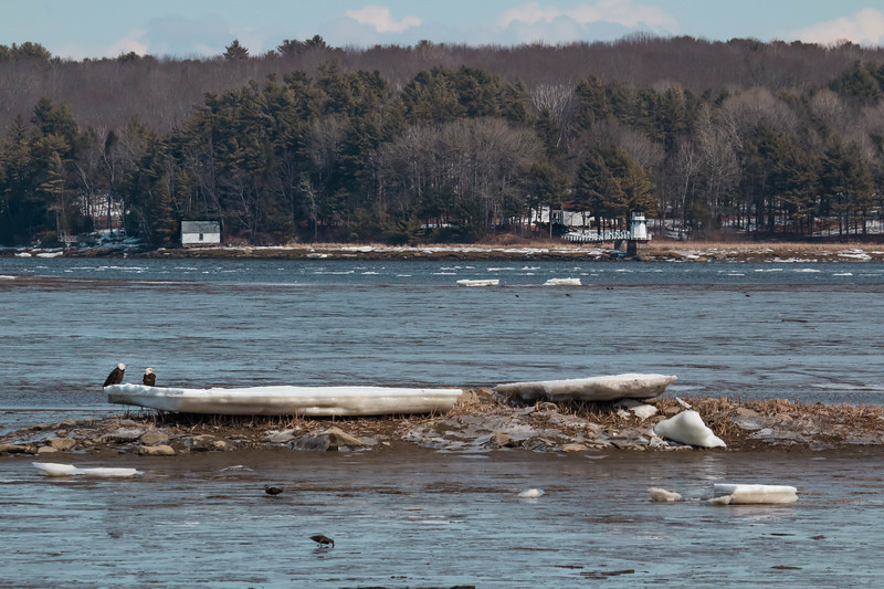 The pair of Bald eagles  was sitting on an ice flow on Winnegance Bay as seen from Phippsburg in March. This is a mate pair, male and female, that have a nest nearby. Do you suppose those American Black ducks so busily foraging in the mud realize that they could instantly become eagle lunch at any second? That's the Doubling Point Lighthouse in the back ground in Arrowsic.