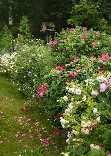 Mixed rose border, my coastal Maine gardens, PHippsburg in late June