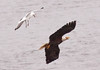 Herring gull after Bald eagle adult in flight, Phippsburg Maine