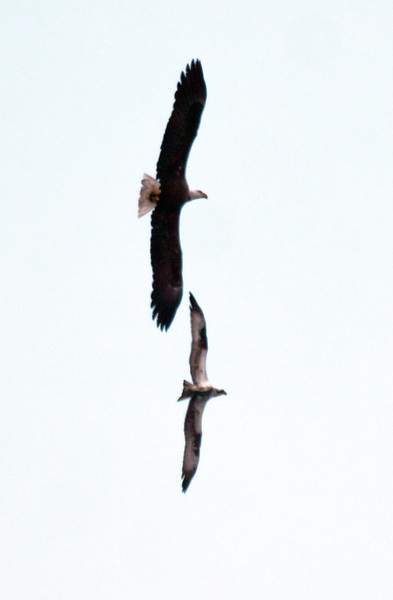 Bald eagle and Osprey flying in tandem. This was one phase of an aerial food fight over a fish the Osprey had caught.