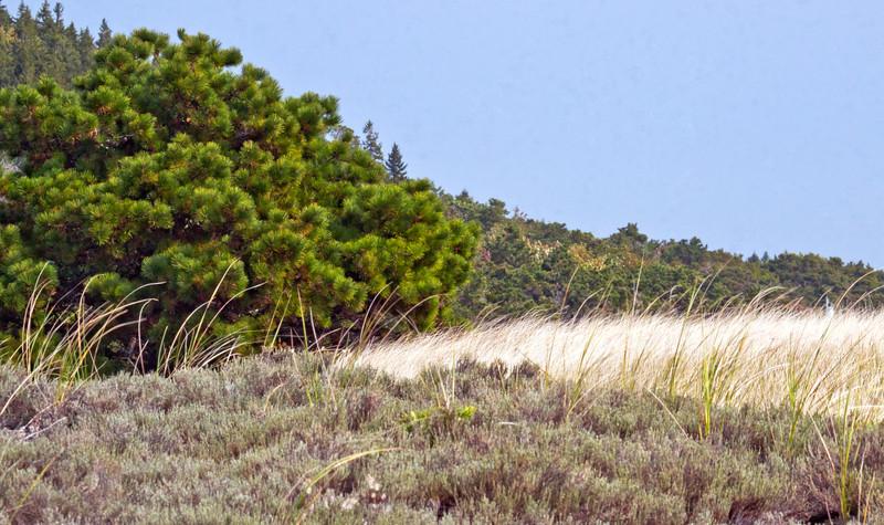 Dune scene, Popham Beach State Park, Phippsburg, Maine, Beach Heather, Maritime Pitch Pines and grass form elegant wedges