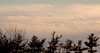 Canada geese migration, ribbon flying over the tree line, Phippsburg, Maine