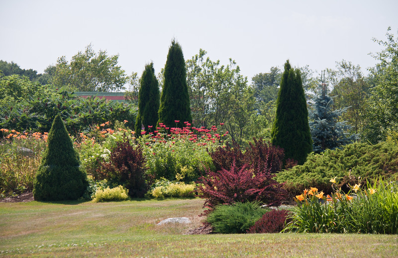 """coastal Maine, Phippsburg garden. This is a private garden I tend. Includes yellow and orange day lilies (""""Ditch Lilies), red Monarda (Bee Balm), Japanese Barberry, Blue Spruce, Arbor vitae (cedars), junipers, Wiegeila, Lady's Mantle and Alberta Spruce"""