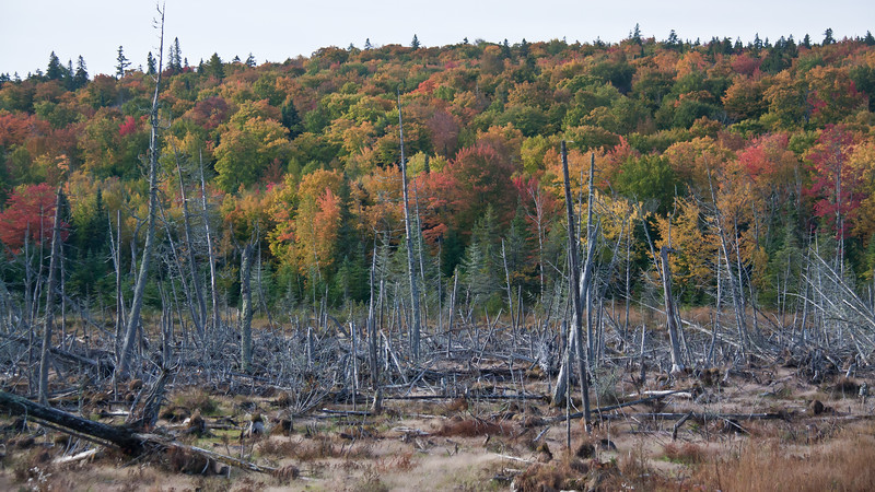 Spruce swamp with autumn foliage, maples and spruce, Rockwood Maine, The Northern Road, late September, 2012