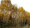 Birch trees in fall color, late September, Rockwood Maine