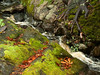 tiny stream after rainfall, water running between ledge with fallen Beech and Horse Chestnut leaves and moss, Maine