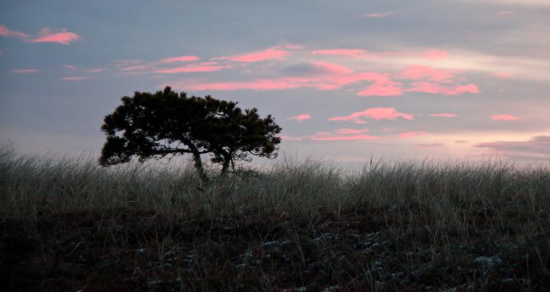 Maritime Pitch pine in dunes, winter, Popham Beach State park at sunrise, Phippsburg, Maine