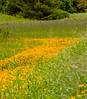 'river' of golden Buttercups in a drainage ditch, coastal Maine botanical scenic. Wildflowers that have naturalized here but are not native to Maine, Ranunculus bulbosa