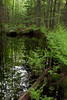 Royal Ferns in woods with reflections in pool, Phippsburg Maine, spring scenic
