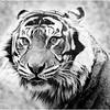 "Print title:  ""  EYE OF THE TIGER / © Gj"