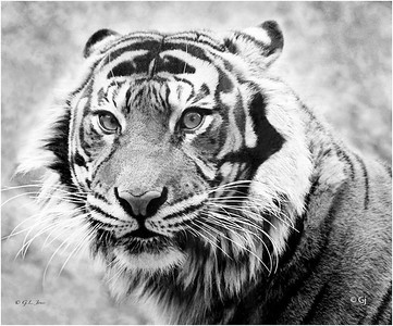 "Print title:  ""  EYE OF THE TIGER / © Gj"