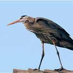 "Print title:  ""  GREAT HERON  ""  /  © Gj"
