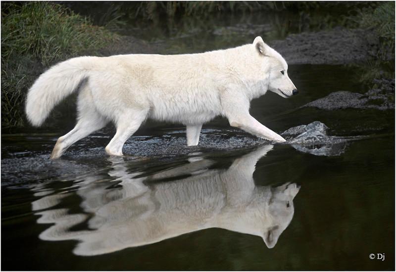 "Print title:  ""  SPIRIT OF THE WOLF ""  / © DJ"