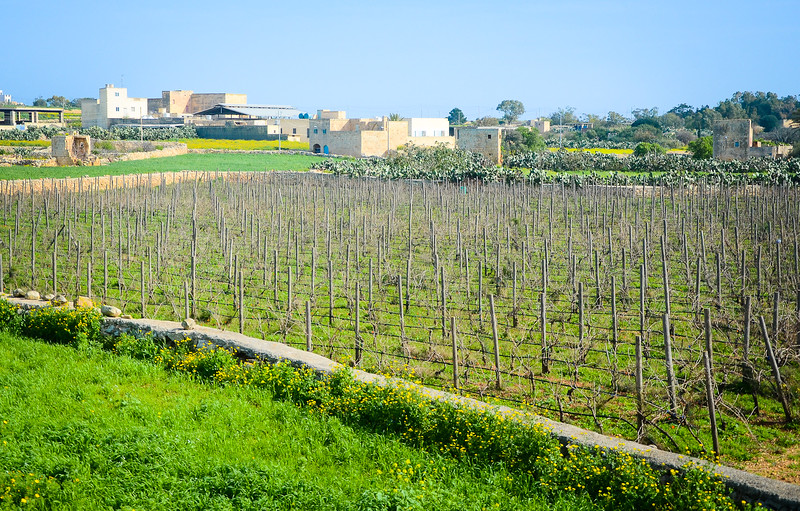 Maltese Vineyard<br /> Outside Marsaxlokk