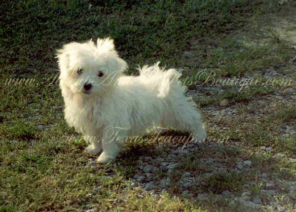 # MALTESE PUPPIES Photo and Videos