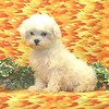 SOLD To Wendy T. (previous customer)SUMMER SPECIAL PRICES + COUPON CODES ACCEPTED ON THIS PUPPY ++ PUPPY NUMBER (  M-TOY- 606 -2005-CL-3 )<br /> Breed: Maltese<br /> Sex: Male<br /> Size:  Toy<br /> D.O.B. 4-2-2005<br /> Color: White<br /> PRICE $ 875.00 This Price includes express economy Shipping<br /> Personality: Sweet, Sweet, Sweet!!!! All  3 of these little brothers are just as calm and sweet as they can be. <br /> COMMENTS: Will be approximately 5 to 8 pounds full grown<br /> All of the puppies that we sell  include a $50.00 puppy starter package & free shipping thru Continental Airlines.