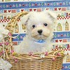 X Sold to Tifany W. , Grapevine Tx.<br /> PUPPY NUMBER ( # MTOY 605 -2005 )<br /> Breed: Maltese<br /> Sex: Male<br /> Size:  Toy<br /> D.O.B. 4-2-2005<br /> Color: White<br /> Sold for  $ 575.00 with coupon code listed on our web site.<br /> Personality: Sweet, Sweet, Sweet!!!!<br /> COMMENTS: Will be approximately 5 to 9 pounds full grown<br /> SUMMER SPECIAL PRICES + COUPON CODES ACCEPTED ON THIS PUPPY ++